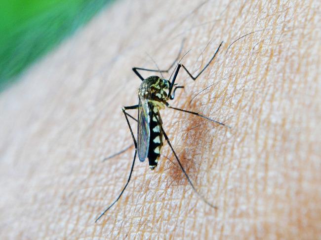 L'artemisia, un traitement anti-paludisme qui fait polémique
